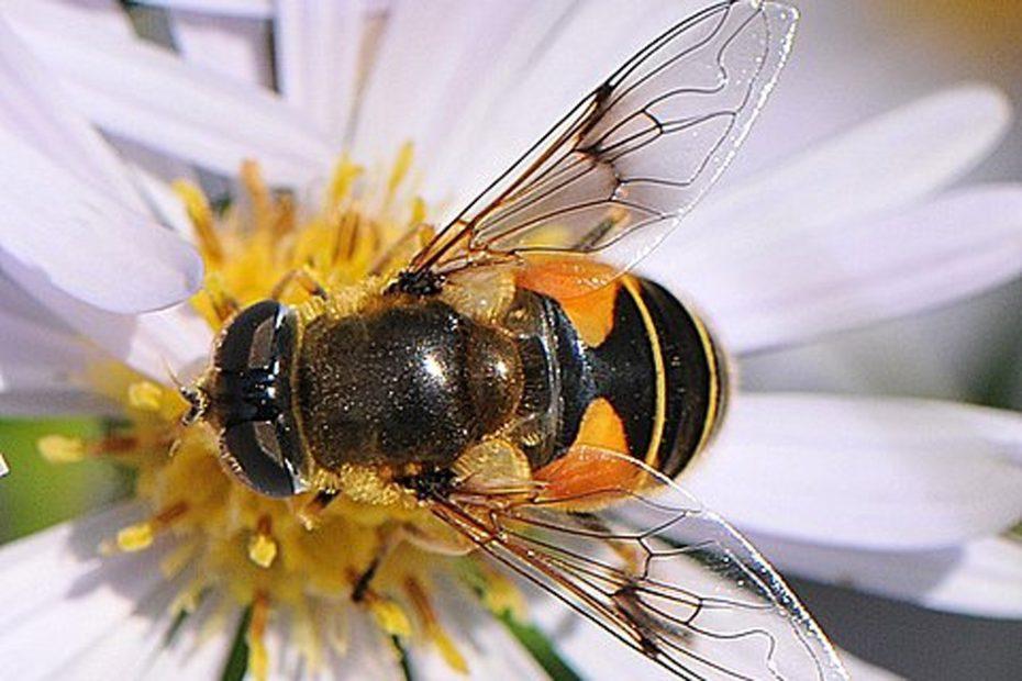Bosbijvlieg, Eristais horticola (syn. E. lineata)