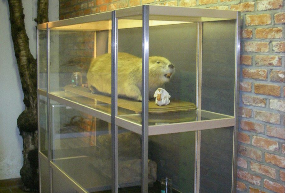 Bever in natuurmuseum